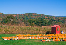 Rows Of Pumpkins And Squash Fo...