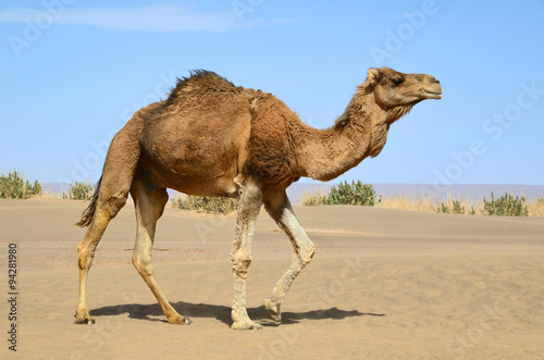 Foto op Canvas Kameel Walking camel