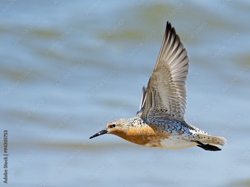 Photo  Red Knot in Flight over beach