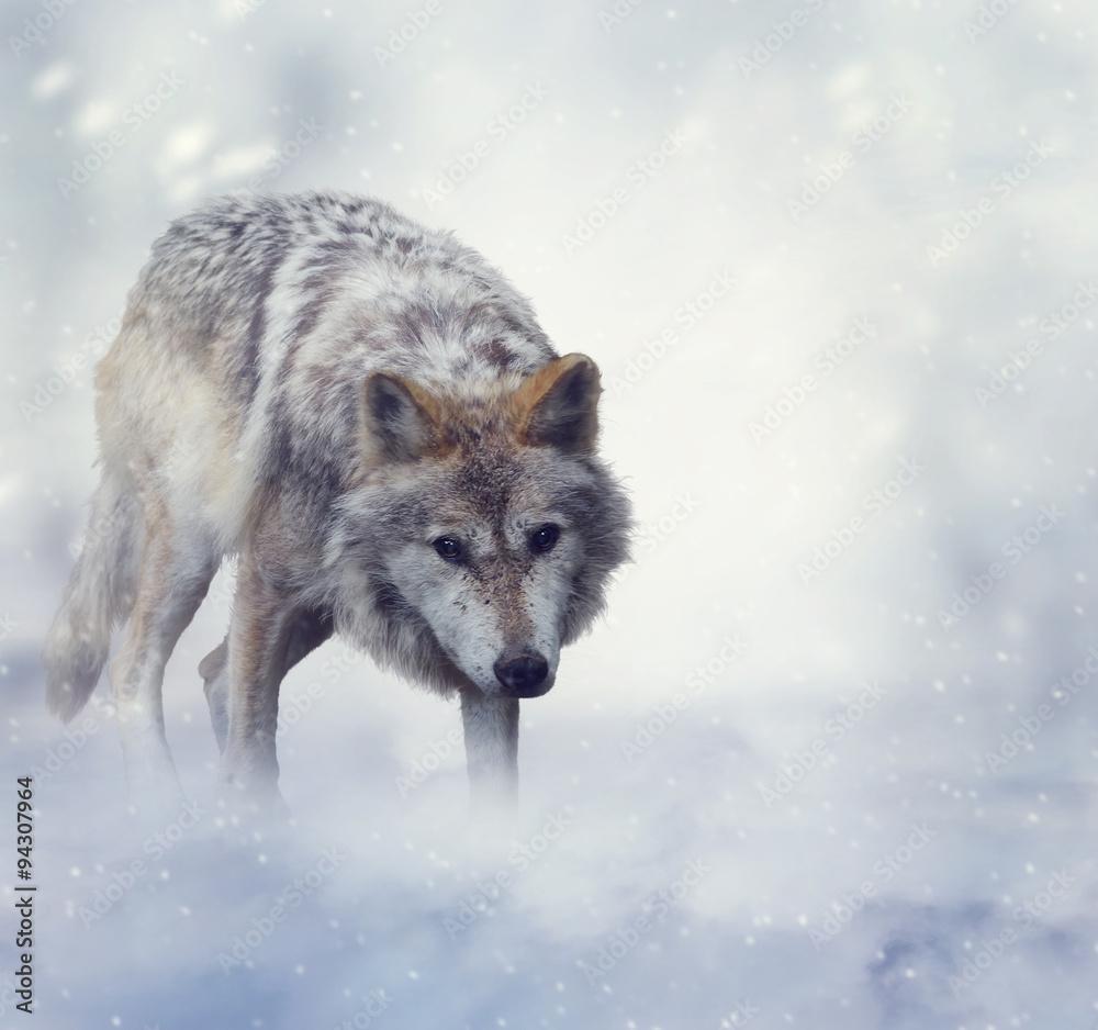Fotografía Lobo En Invierno | Europosters.es