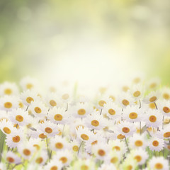Fototapeta Daisies in The Flower Garden