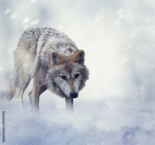 Foto  Wolf In Der Winterzeit