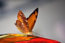 Beautiful Australian Leafwing Butterfly