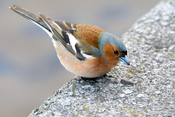 Chaffinch bird, Fringílla coélebs, songbird of the family of finches, bird close eating seeds, distributed in Europe, Western Asia and North Africa; settles in the East, wild animals in the city.