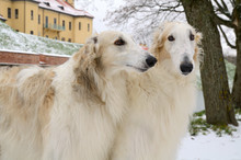 Portrate Of Two Borzoi Dogs