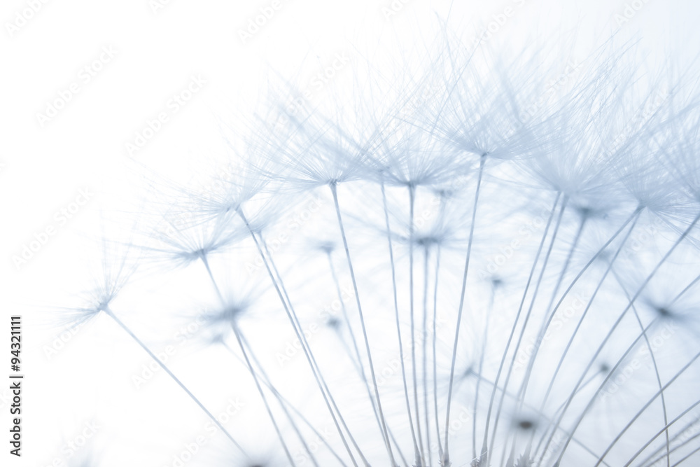 Fototapety, obrazy: macro of an overblown fluffy dandelion