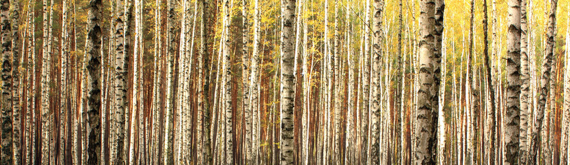 Fototapeta Brzoza autumn birch forest landscape panorama