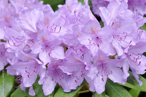Closeup on a purple Rhododendron