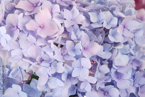 Fototapeta Blue hydrangea macrophylla
