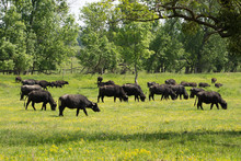 Water Buffalo Grazing