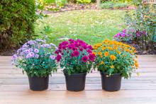 Colorful Mum Flowers