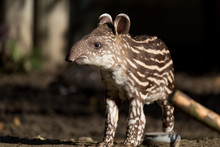 Baby Of The Endangered South A...