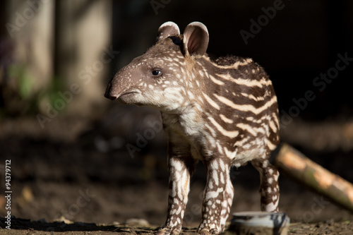 Fotografia baby of the endangered South American tapir