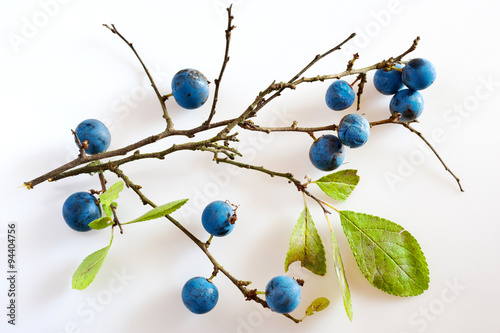 Valokuva  blackthorn with ripe blue berries / Prunus spinosa