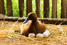 Duck Incubator Her Eggs On The...