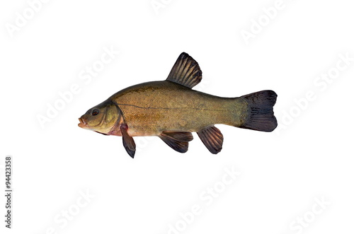 Valokuvatapetti tench isolated on white background