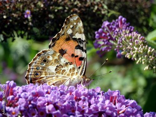 Fotografie, Obraz  Vanesse de chardon posé sur un lilas avec ses ailes fermées.