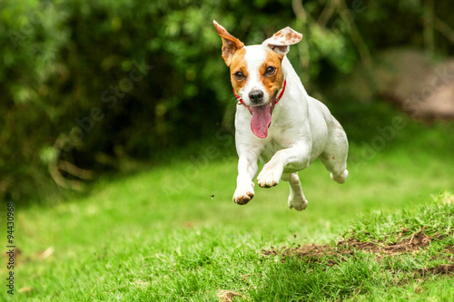 dog running toward russell camera jack jump happy happy dog run to the camera low angle high speed shot dog running toward russell camera jack jump happy hound cheerful rush play russel adorable brow © Ammit