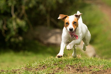 Jack Russell Parson Terrier Dog