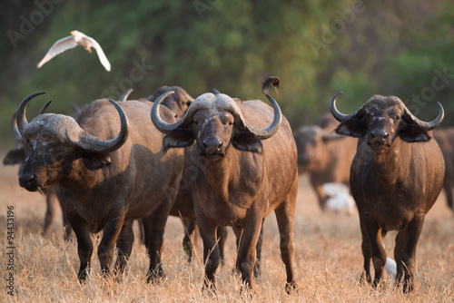 In de dag Buffel Cape buffalo (Syncerus caffer) standing in a field of dried gras
