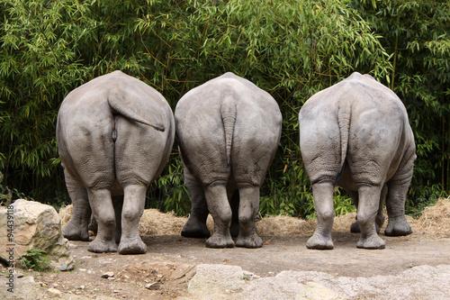 Fotografering  Drei Nashörner von hinten