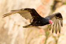 Vulture Turkey Flying Wings Bi...