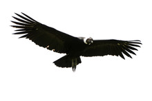 Condor Isolate Andean Vulture Bird Black Flight Wing Andes Animal Masculine Andean Condor In Flight Shot In Rise Of Ecuador Andes Mountains Versus A White Cloud Condor Isolate Andean Vulture Bird Bla