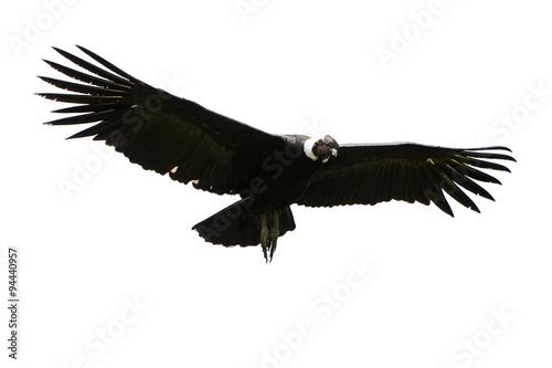 Valokuva  Andean Condor Isolated