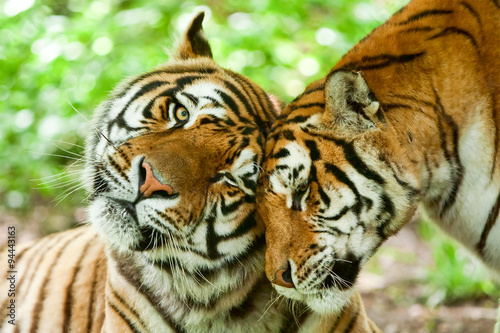 Photo sur Toile Tigre Male And Female Tiger
