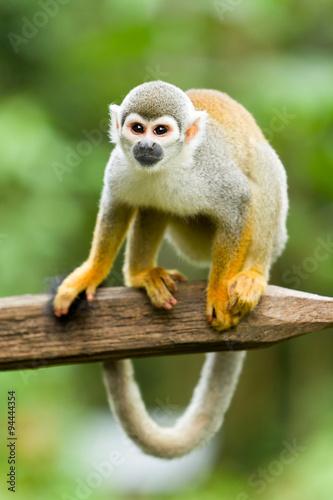 Tuinposter Eekhoorn Wild Saimiri Monkey