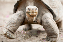 Galapagos Ecuador Tortoise Turtle Islands Smiles Giant Galapagos Huge Tortoise Is The Largest Living Family Of Turtle Reaching Weights Of Over 400 Kilograms And Lengths Of Single 8 Meters It Is Among