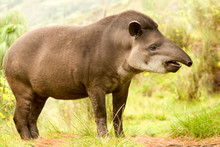 Tapir America South Tapirus Mountain Pinchaque Wild Ecuador Mature Feminine Mountain Tapir In The Timber Shot In The Ecuadorian Hill Of Andes