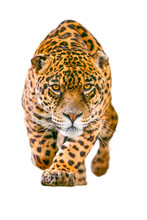 Jaguar Leopard Isolate Animal ...