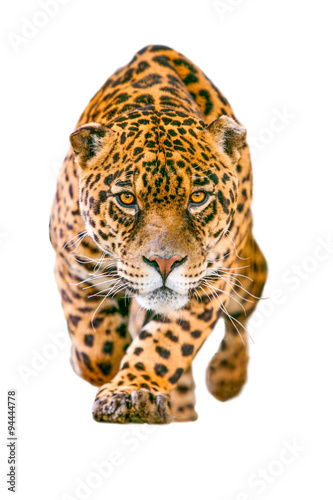 Tela jaguar leopard isolate animal panther white angry head face stalking eye wild ja