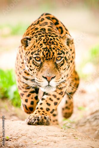 Leinwand Poster Aggressiver wilder Jaguar, der kommt, um Sie zu erhalten