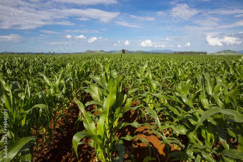 Fotografie, Obraz  Maturing maize crop