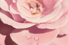 Open Pink Rose