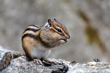 Little Chipmunk In The Wood