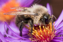 Bumblebee Extracts Pollen From...