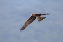 Black Kite  (Milvus Migrans)  Flying
