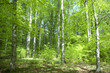 canvas print picture - Buchenwald, Wald, Fruehjahr
