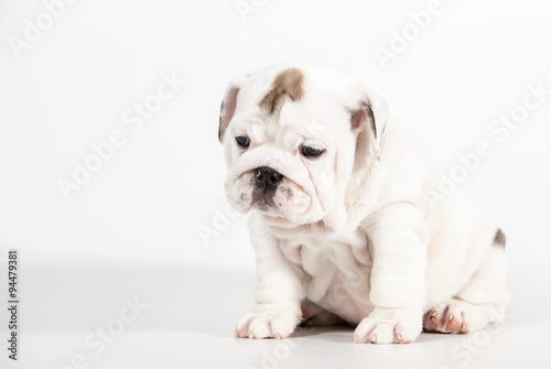 ENGLISH Bulldog puppy on white background - Buy this stock