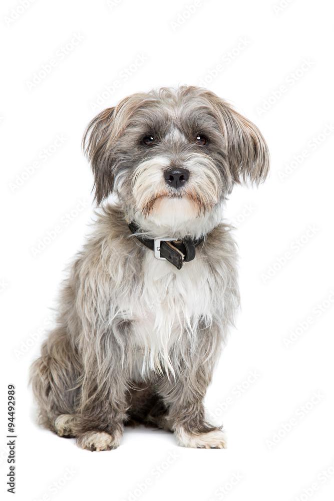 Photo  grey and white mixed breed dog