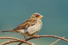 Female House Sparrow Eating Seeds