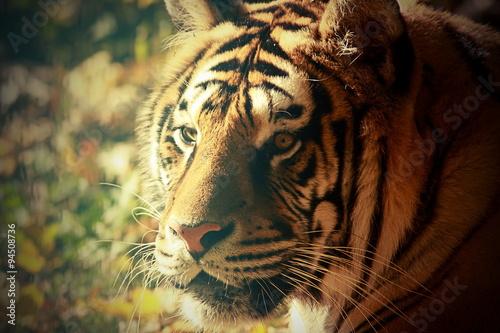 Fototapety, obrazy: vintage portrait of a tiger