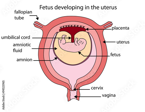Fotografie, Obraz Fully labeled diagram of fetus developing in the uterus