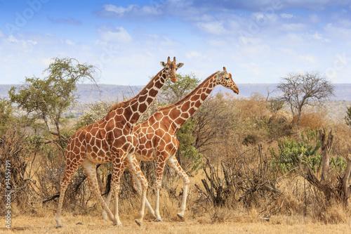 Poster Afrique Reticulated Giraffe