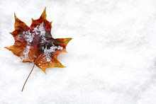 Fallen Leaf In The Snow