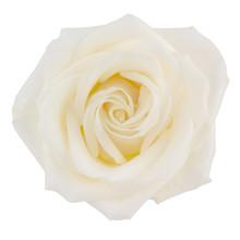 Creamy Pastel Yellow Hybrid Tea Rose Isolated On White