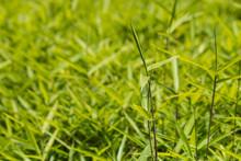 Closeup Of Fresh Bamboo Grass